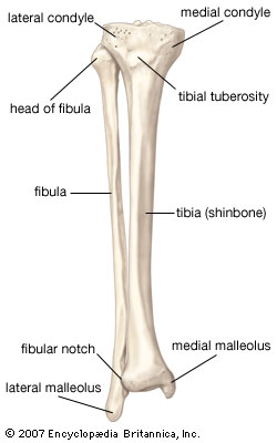 Ankle lower leg anatomy foot ankle lower leg orthopedic the proximal portion of the tibia is tibial plateau which acts as a cusp for the knee the distal portion tapers into ccuart Choice Image